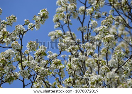 White spring tree blossoms against a bright blue sky background #1078072019