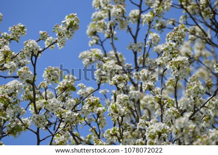 White spring tree blossoms against a bright blue sky background #1078072022