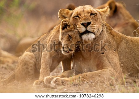 Predator´s love. Lioness and cub in the Kruger NP, South Africa Royalty-Free Stock Photo #1078246298