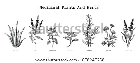 Medicinal plants and herbs hand drawing vintage engraving illustration Royalty-Free Stock Photo #1078247258