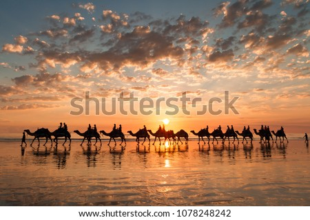 A golden sunset on Cable Beach featuring the famous Broome Camel ride.  #1078248242