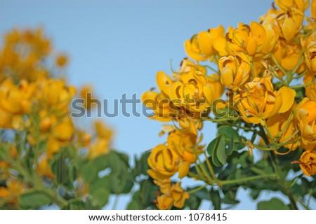 Flowering Cassia #1078415