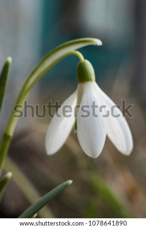 Galanthus nivalis. Red-listed plant, white flowers in early spring.  #1078641890