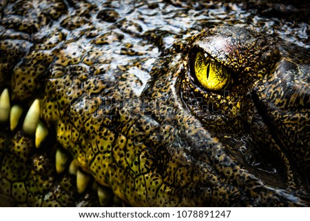 Alligator or crocodile concept. Eye of alligator and teeth on head. Eye is bright golden beautiful color. Crocodile is dangerous animals and large aquatic reptiles #1078891247