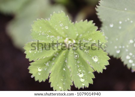 Beautiful close up of Garden Lady's mantle with raindrops. #1079014940