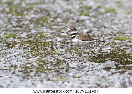 Killdeer Bird on ground at Vancouver BC Canada #1079101487