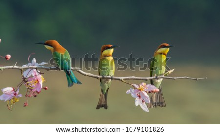 Three chestnut-headed bee eater on wood branch with beautiful pink flower on the blurry shallow green background #1079101826