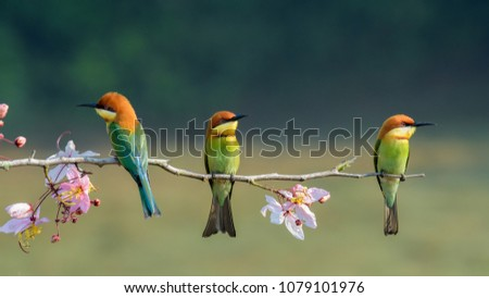 Three chestnut-headed bee eater on wood branch with beautiful pink flower on the blurry shallow green background #1079101976