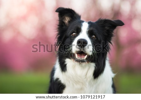 beautiful spring portrait of adorable black and white border collie in the blossoming park #1079121917