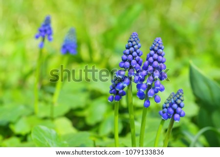 Blue muscari on the glade #1079133836