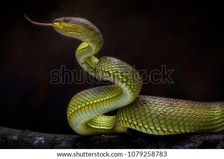 Venomous Snake Viper - Reptile Photo Series #1079258783