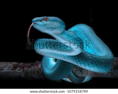 Venomous Viper Snake - Reptile Series #1079258789