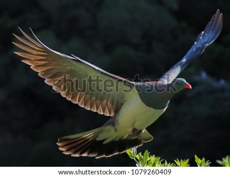 New Zealand Keruru in Flight majestic wings  #1079260409