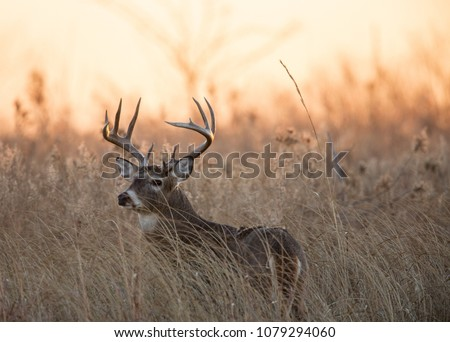 Ten Point White Tail at sunrise 8, Quivira National Wildlife Refuge Royalty-Free Stock Photo #1079294060