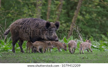 Young wild Boar Royalty-Free Stock Photo #1079412209