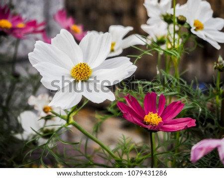 White and purple cosmos flowers #1079431286