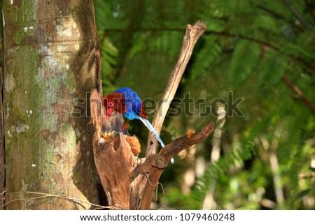 Sri Lanka Blue Magpie in Sinharaja Jungle #1079460248