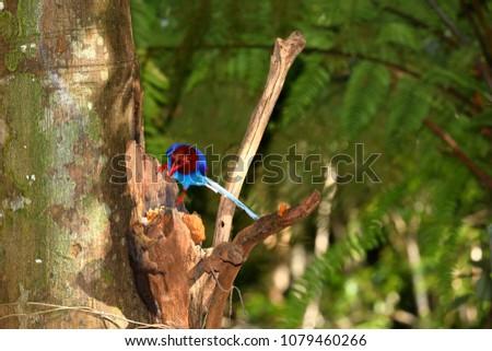 Sri Lanka Blue Magpie in Sinharaja Jungle #1079460266