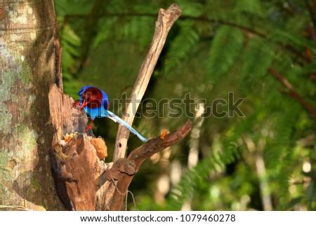 Sri Lanka Blue Magpie in Sinharaja Jungle #1079460278
