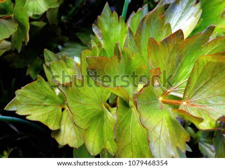 Lovage, Levisticum officinale, young leaves in spring time, close-up. Lovage is an herb native to the Mediterranean region of southern Europe #1079468354