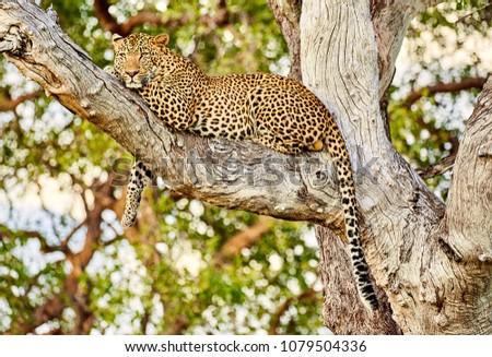 Male Leopard in tree at Zikomo, South Luangwa, Zambia #1079504336