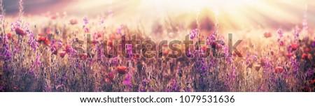 Flowering poppy flower - beautiful poppy flower and purple flower #1079531636