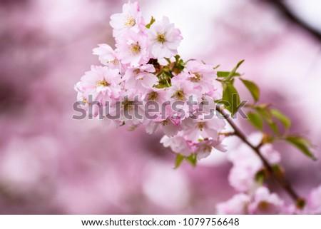 Cherry Blossoms at sakura tree. #1079756648