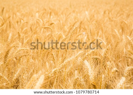 Pile of straw, Straw bales for agriculture, Hay piles, large square bales, Feast of Weeks, Jewish  Israeli holiday of  Shavuot traditinal symbol,   a field after harvest time #1079780714