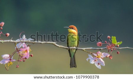 Beautiful closeup Chestnut-headed bee eater bird on wood branch with beautiful pink flower on blurry shallow green background and soft light from Khaoyai National Park, Nakornratchasima Thailand  #1079900378