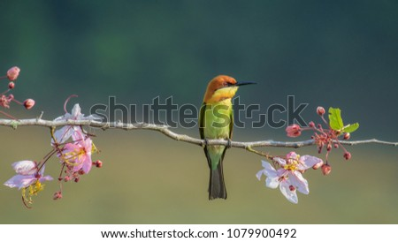 Beautiful closeup Chestnut-headed bee eater bird on wood branch with beautiful pink flower on blurry shallow green background and soft light from Khaoyai National Park, Nakornratchasima Thailand  #1079900492