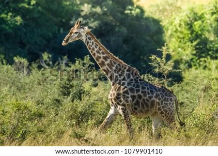 Giraffe in the jungle habitat, Africa #1079901410
