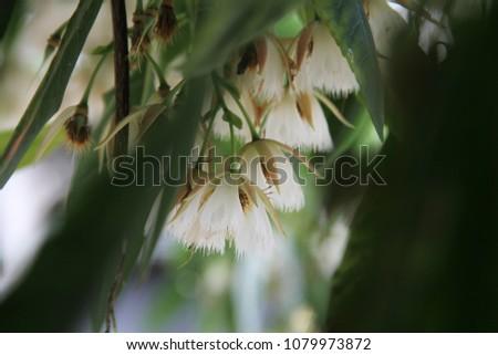 Elaeocarpus grandiflorus, Elaeocarpaceae  #1079973872