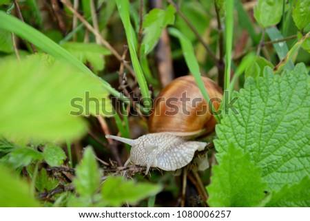 Roman or Edible Snail (Helix pomatia) #1080006257