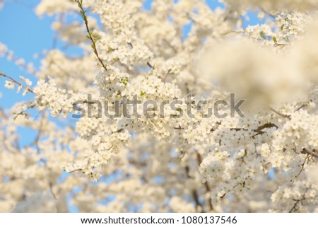 Cherry Blossom trees, Nature and Spring time background. #1080137546