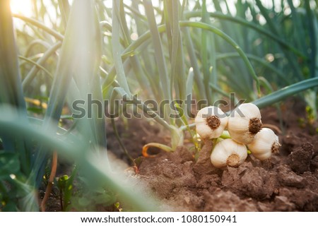 young garlic lying on garden ground. Onion picking season. #1080150941