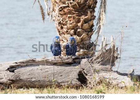 hyacinth macaw in Brasil Pantanal #1080168599