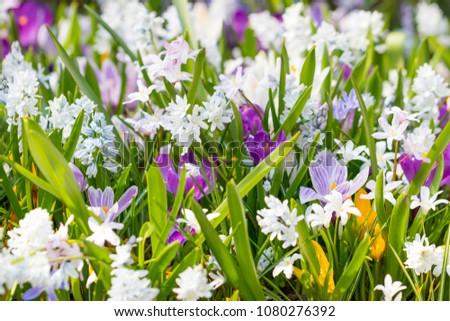 SaffroSaffron Spice Plantn #1080276392