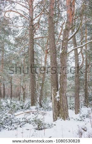 Winter in the Pine Forest. Nature in the vicinity of Pruzhany, Brest region, Belarus. #1080530828