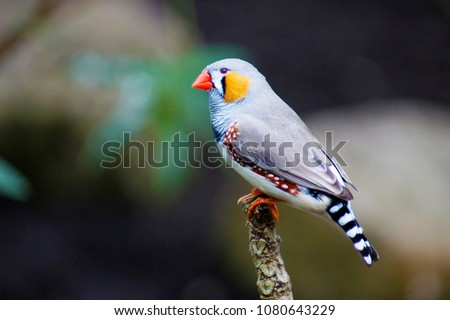 a colorful grey yellow bird zebra finch (Taeniopygia guttata), sitting on a tree branch, species native and endemic to australia  Royalty-Free Stock Photo #1080643229