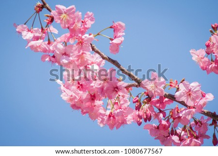 Cherry Blossoms in Japan #1080677567