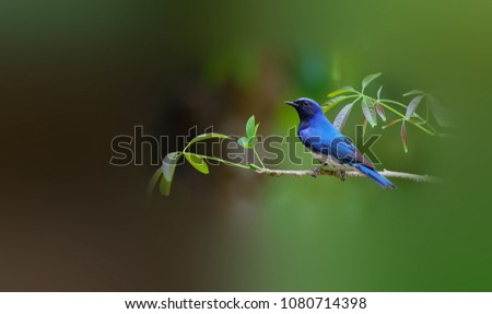 Beautiful Blue-and-white Flycatcher #1080714398