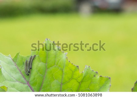 The caterpillar larvae of the cabbage white butterfly eating the leaves of a cabbage. #1081063898