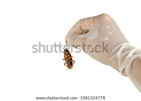 Hand holding cockroach isolated on white background with clipping path.Concept signs symbols for disease and danger of cockroaches in house, kitchen and pest control.