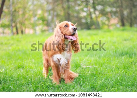 cocker spaniel in a summer park #1081498421