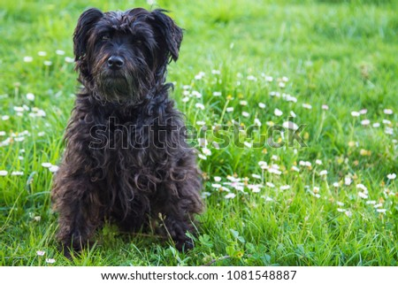 black schnauzer dog in the field of daisies #1081548887