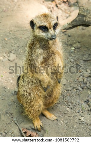 """The meerkat or suricate is a small carnivoran belonging to the mongoose family. It is the only member of the genus Suricata. A group of meerkats is called a """"mob"""", """"gang"""" or """"clan"""". #1081589792"""