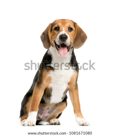sitting and panting Beagles, Dog, isolated #1081671080
