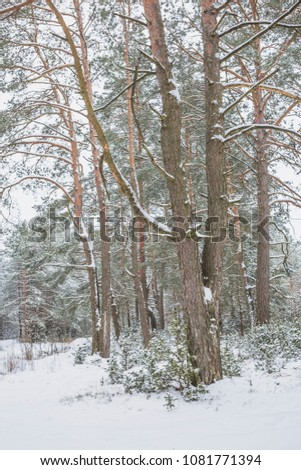 Winter in the Pine Forest. Nature in the vicinity of Pruzhany, Brest region, Belarus. #1081771394