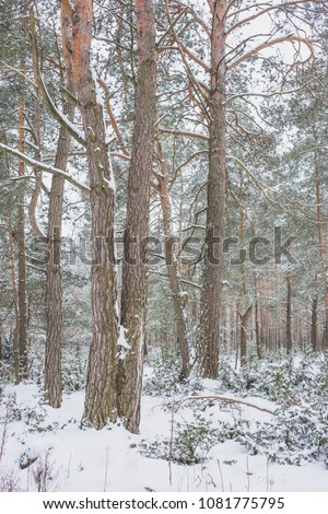 Winter in the Pine Forest. Nature in the vicinity of Pruzhany, Brest region, Belarus. #1081775795