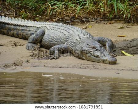 australian saltwater crocodile at daintree river, queensland Royalty-Free Stock Photo #1081791851